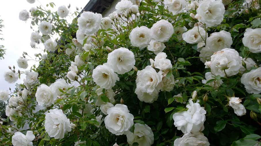 роза Шнеевитхен