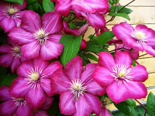 цветы клематиса Виль де Лион