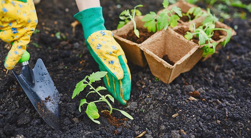 пересадка кустиков томатов в землю