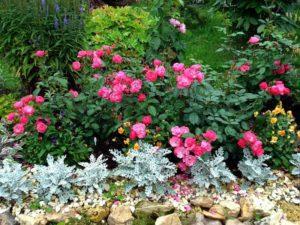 парковая роза на участке