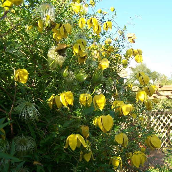 куст клематиса с желтыми цветами