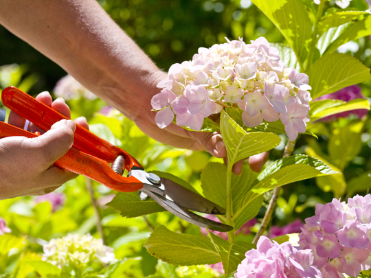 срезка цветка гортензии