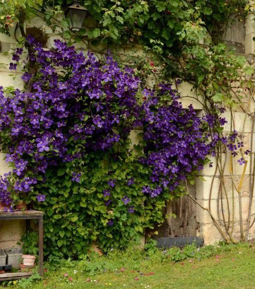 клематис растущий возле стены дома