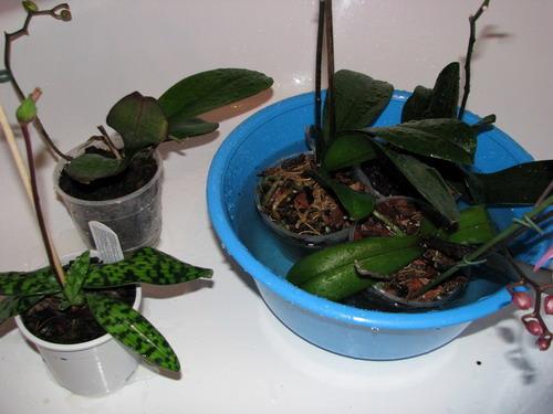 погружение орхидеи в таз с водой