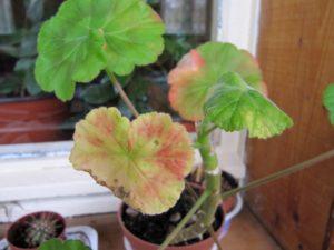 краснеют листья у герани