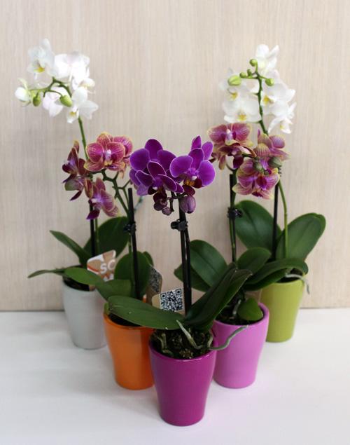 мини орхидеи в керамических горшках