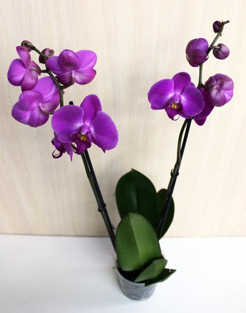 Фиолетовая орхидея фаленопсис