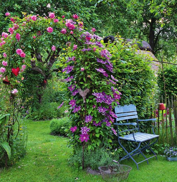 Выращивание клематис в саду 253