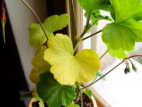 пеларгония с желтыми листьями