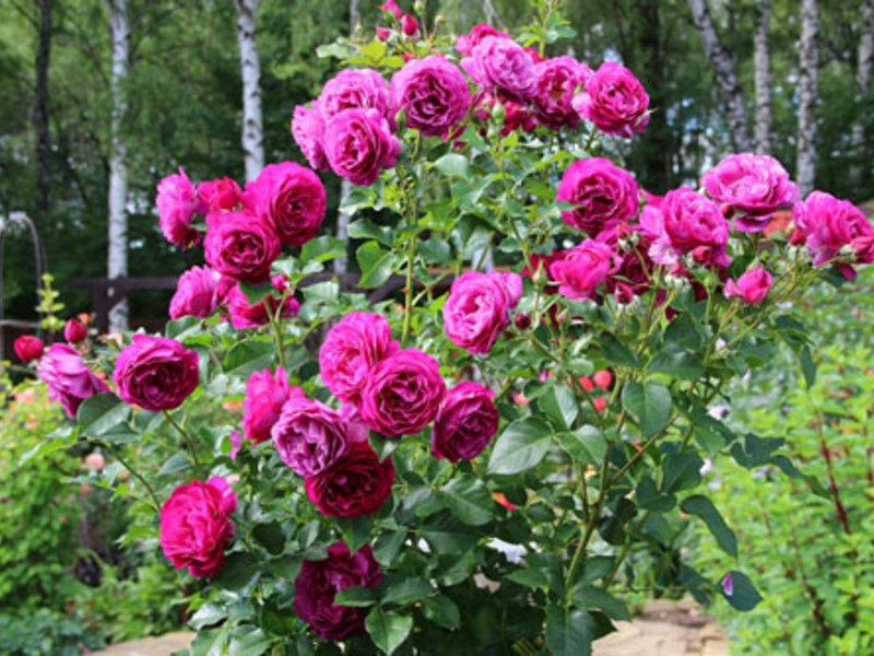 грандифлора роза