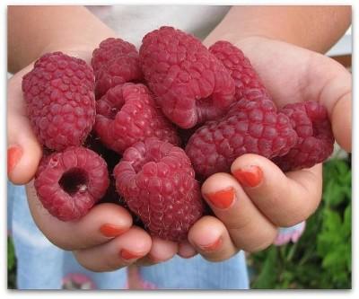 большие ягоды малины