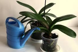 две орхидеи и лейка