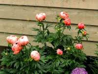 цветущий пион у дома