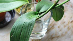 орхидея без корней в стакане