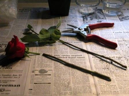 Разведение роз черенками из букета