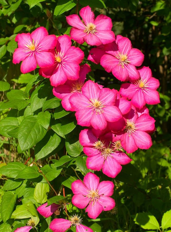 Цветы фото клематисы
