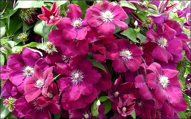 красивые цветы клематиса