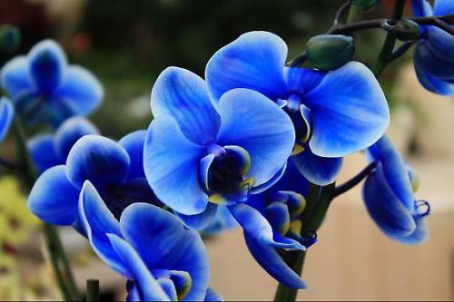 цветки орхидеи синего цвета