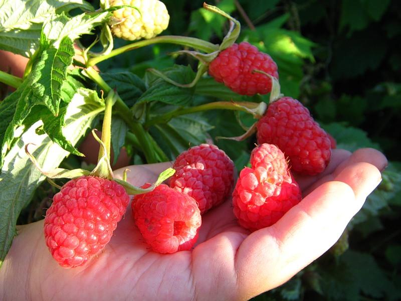 созревшие ягоды малины