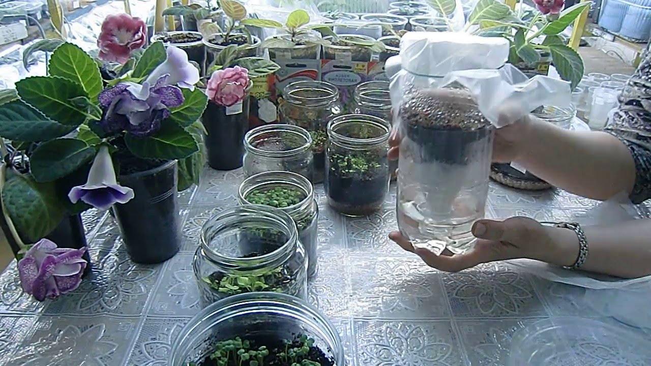выращивание петунии в банке