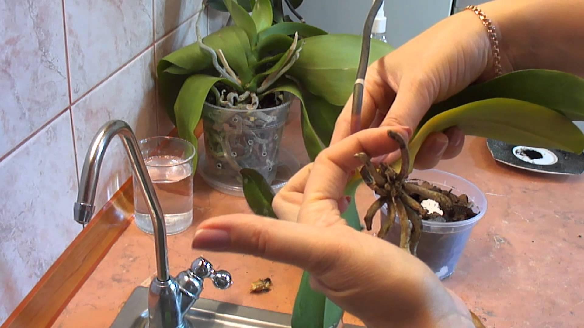 обработка корней орхидеи