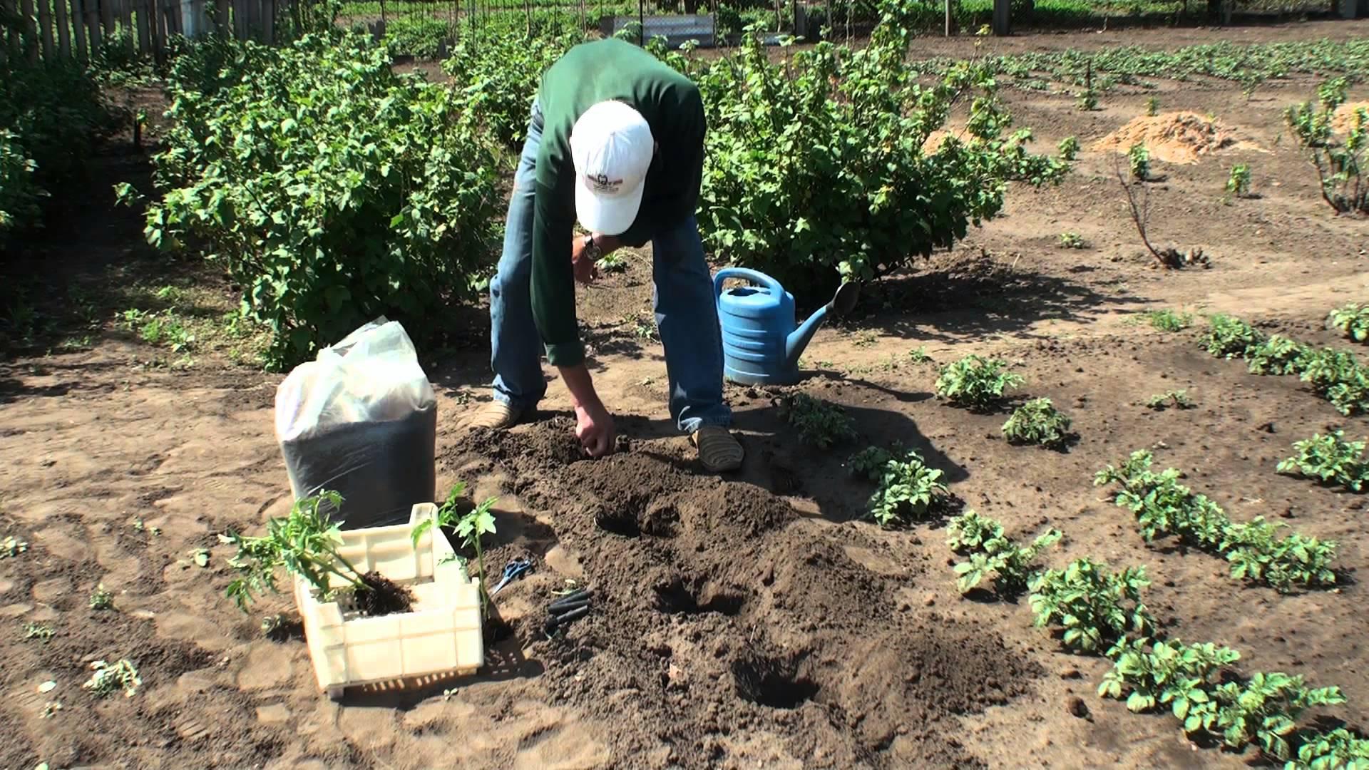 ленточная схема посадки томатов