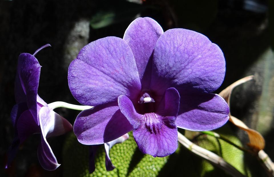 дендробиум фиолетовый