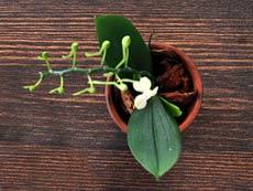 моноподиальный вид орхидеи