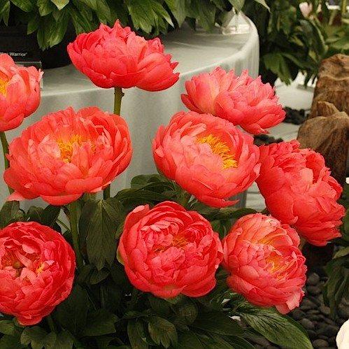 цветы пиона Корал