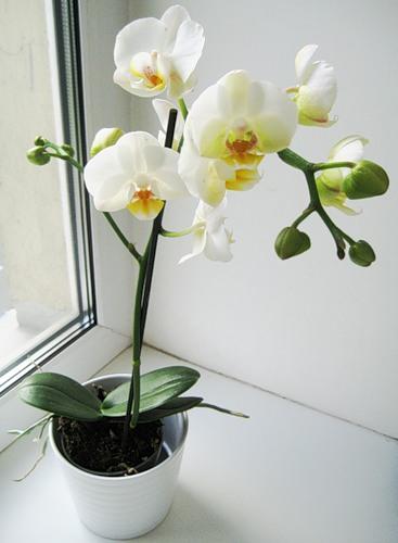 комнатная орхидея на подоконнике