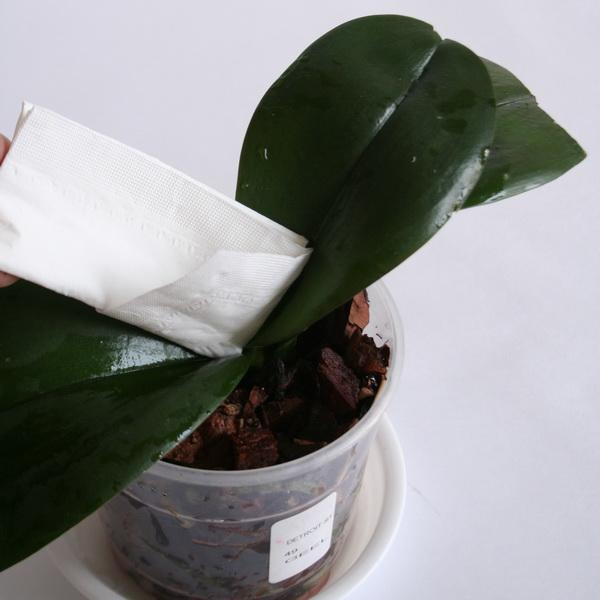 сбор лишней влаги с орхидеи
