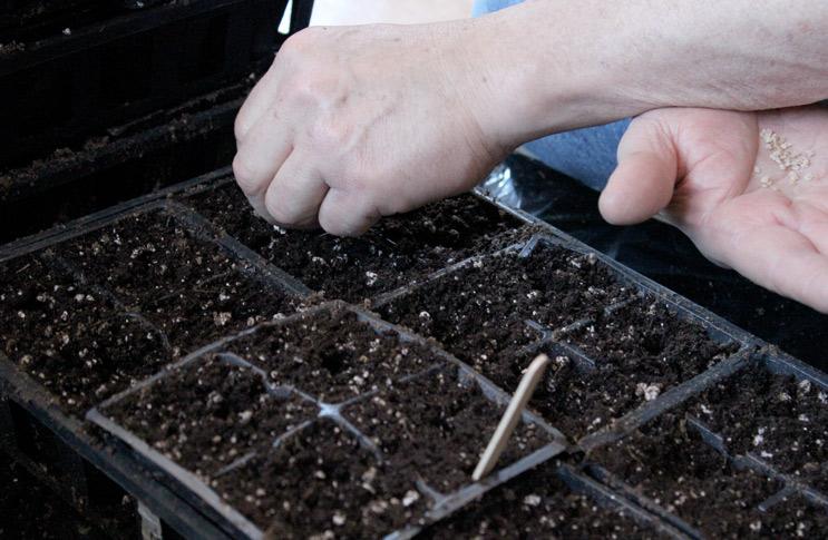 закладка посадочного материала томатов в емкости