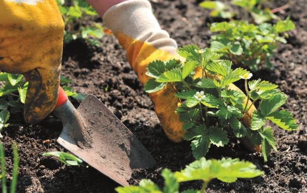 подготовка почвы для клубники весной