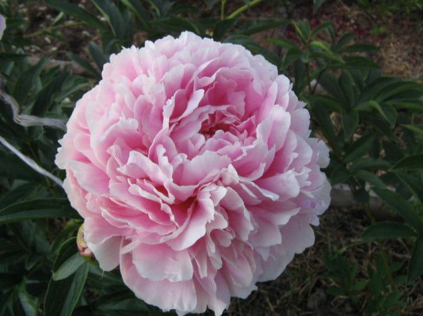 цветок пиона розового цвета