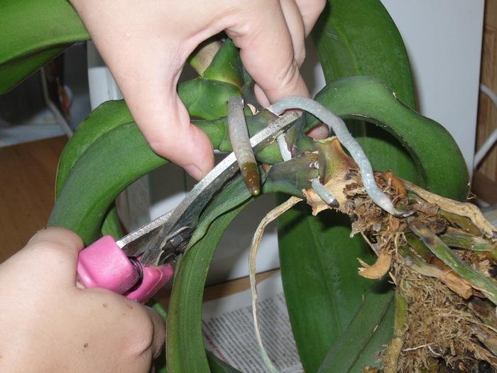 обрезка отростков куста орхидеи