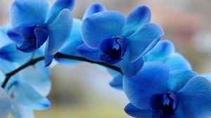 небесного цвета орхидея
