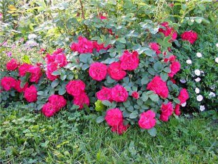 Что такое парковая роза