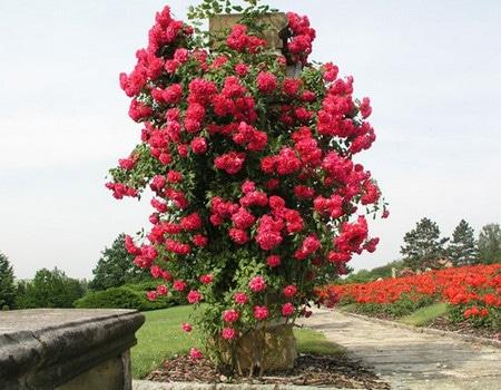 плетистая роза сформированная высоким кустом