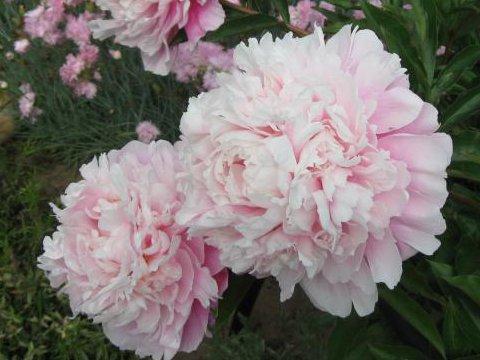 пион Розовое облако
