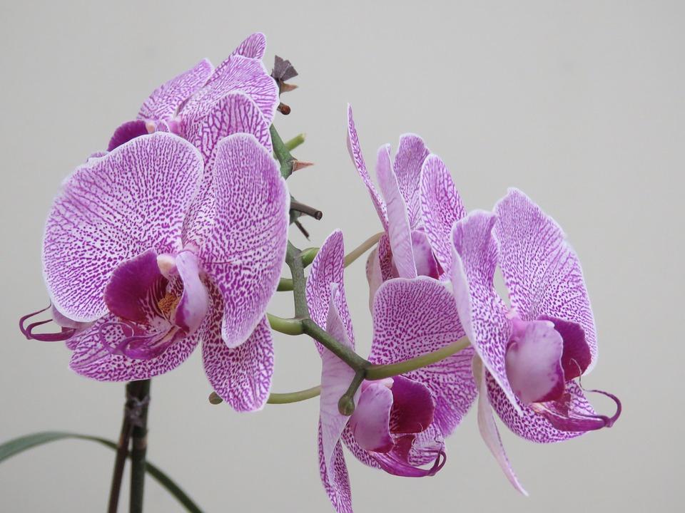 красивая фиолетовая орхидея