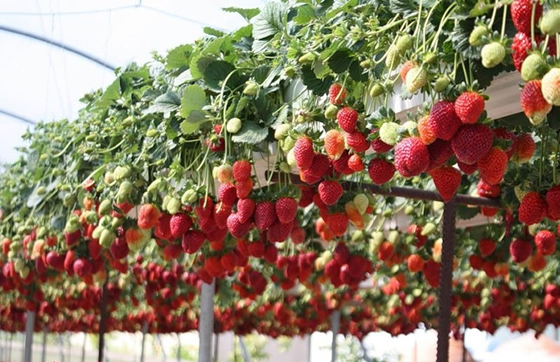 Клубнику выращиваем дома