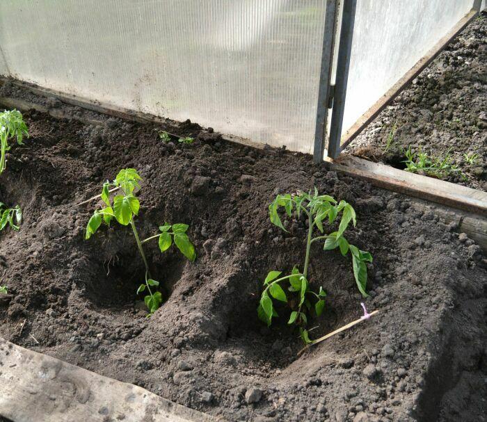 рассада томатов в теплице из поликарбоната
