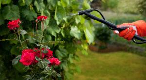 полив розы