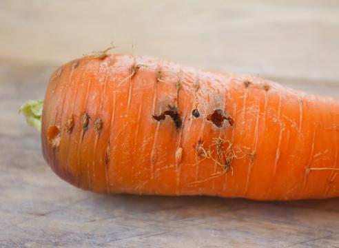 поеденная вредителями морковь