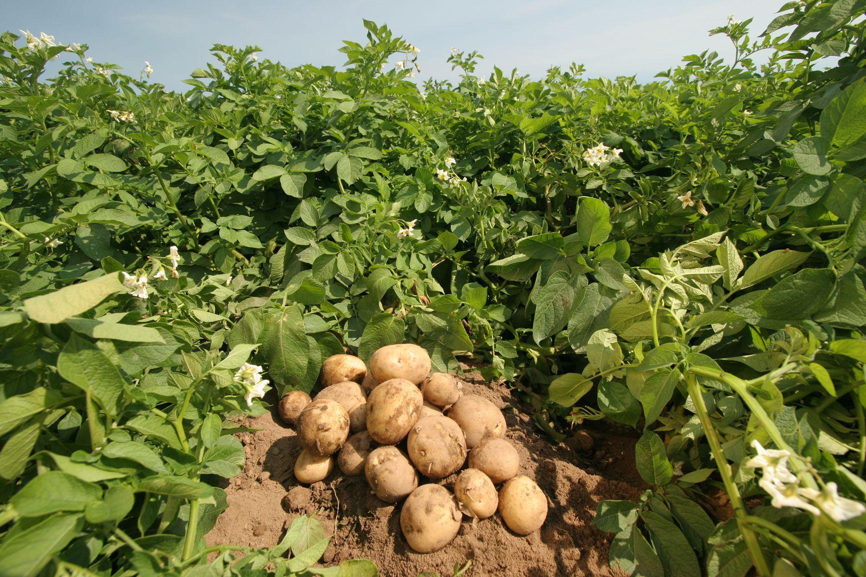 картофель выращенный своими руками