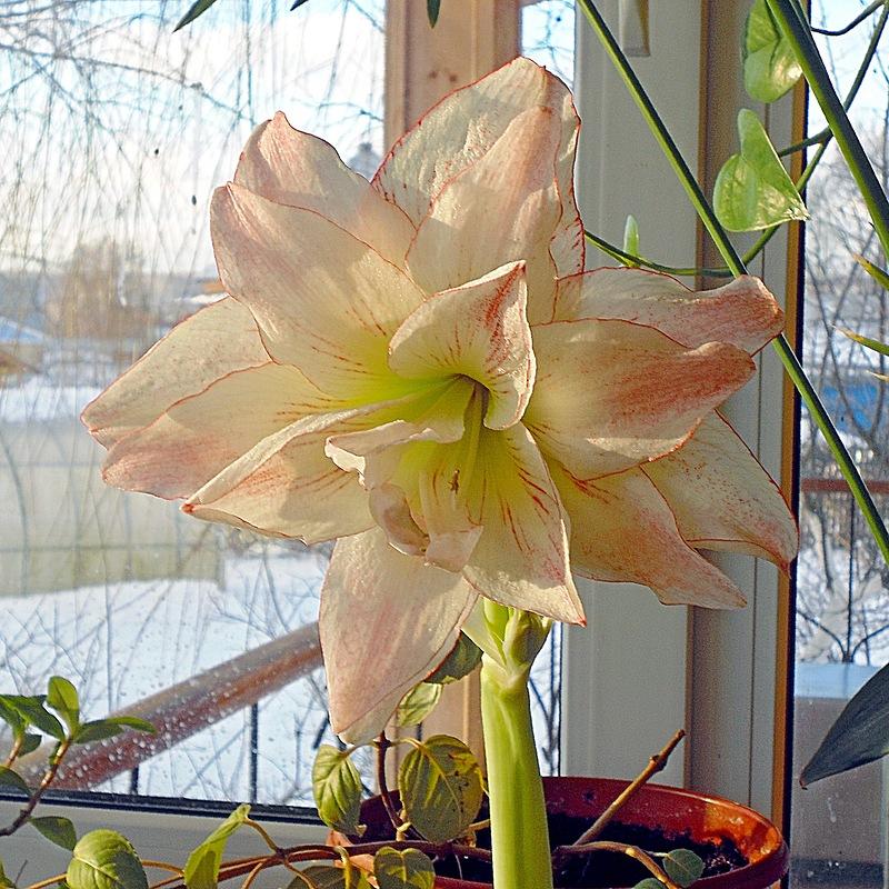 цветок амариллиса на окне