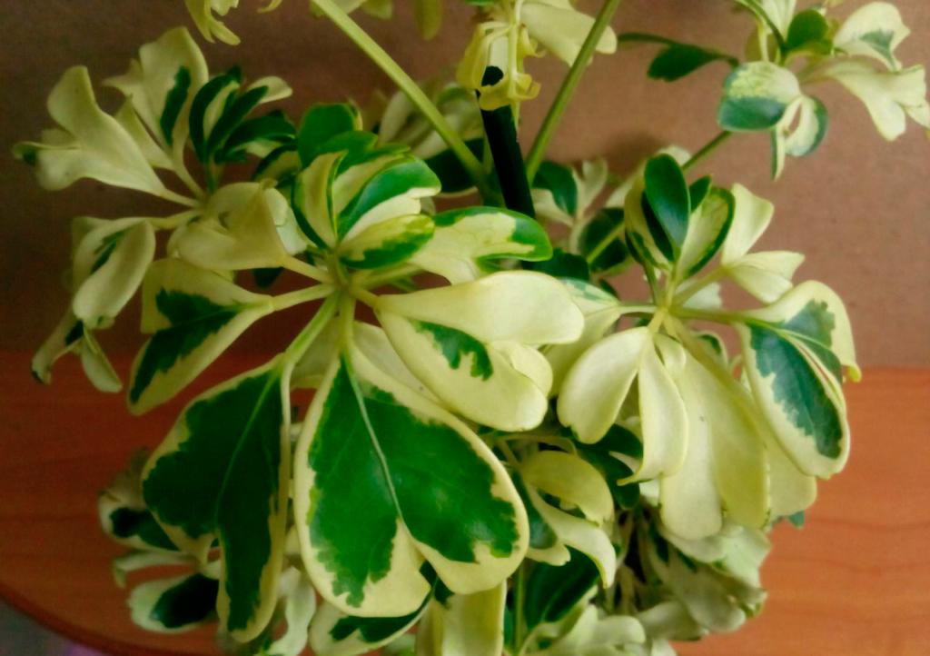 листья шеффлеры