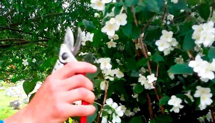 Жасмин кустарник посадка и уход