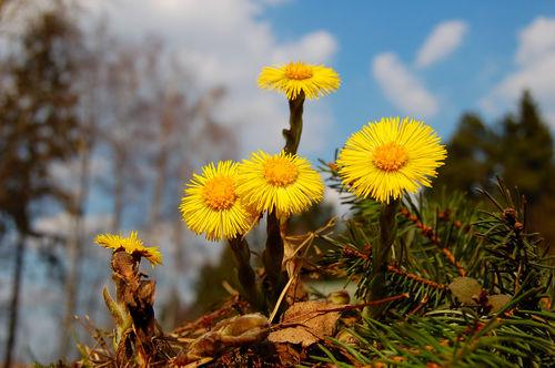 пять цветочков мать-и-мачехи