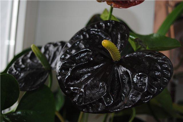антуриум Черная королева